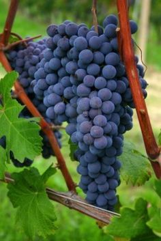 blue-italian-nebbiolo-grapes-hanging-in-the-vineyard (267×400)