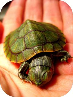 Sleeping Baby Turtle