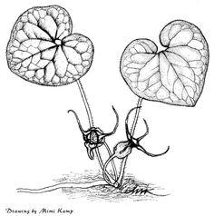 wild ginger illustration  www.swsbm.com/ Botanical Drawings, Botanical Art, Botanical Illustration, Pacific West, Pacific Northwest, Ginger Plant, Sketching Techniques, Wild Ginger, Plant Drawing