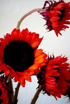colorful  .. X ღɱɧღ || sunflowers~here there everywhere