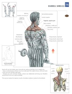 trainingsplan muskelaufbau Barbell shrugs – Keep up with the times. Gym Workout Tips, Workout Challenge, Workout Women, Workout Fitness, Sport Motivation, Circuit Fitness, Academia Fitness, Coach Sportif, Martial Arts Workout
