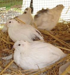 Coturnix Quail hens lay between 200 and 300 eggs per year if raised in the proper environment and when artificial lighting is used.