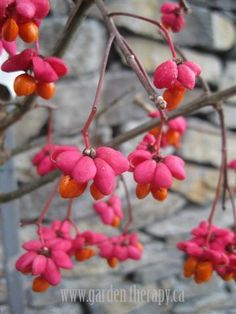 Euonymus europaeus - There are some really fascinating colourful plants in winter, but this one is the bomb.