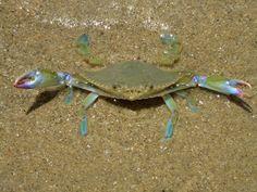 Crab on the beach, San Felipe B.C.