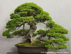 Wow, this is Bonsai at its most inspirational. Photo by The Omiya Bonsai Art Museum, Saitama. Pine Bonsai, Bonsai Plants, Bonsai Garden, Juniper Bonsai, Tree Garden, Bonsai Seeds, Mini Plantas, Dwarf Trees, Plantas Bonsai