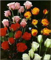 Bulk Spray Roses.  Starting at $139.95 It is best  to refer to spray roses in bloom counts.  There are usually 4-7 flowers per stem, and clusters of blooms 2 to 3 inches in diameter.  Bulk spray roses are stunning for any arrangment.  Click here to see our red bulk spray roses    Description: The spray rose consists of several small dainty roses per one branched stem.   A multi-petaled blossom that ranges from 2-6 inches across at stem ends.