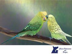 Considera tener una pareja de pericos. CLÍNICA VETERINARIA DEL BOSQUE. Los pericos son aves sociables y disfrutan vivir en parejas o en grupos. Si solo compras un ave, tendrás que pasar tiempo con ella todos los días para satisfacer sus necesidades de compañía. Si decides comprar muchas aves, asegúrate de solo tener pericos y no otro tipo de aves. En Clínica Veterinaria del Bosque te invitamos a visitar nuestra página web. www.veterinariadelbosque.com #veterinaria