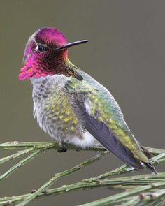 Anna's Hummingbird   National Audubon Society Birds - Tuscon Arizona