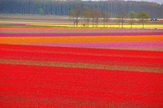 The Dutch tulips