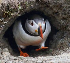 Hello love! I just want a puffin print in my house