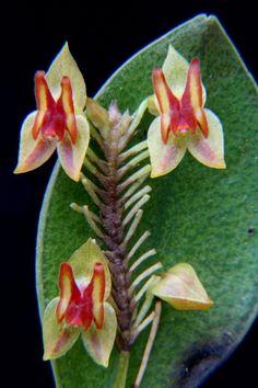 Miniature-orchid / Micro-orquidea: Lepanthes candida
