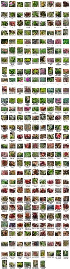 Succulent identification chart & growing info, climate zones, conditions, etc. for a wide variety of succulents