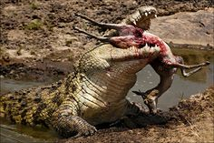 Crocodiles are semi-aquatic predators, belong to the order of aquatic vertebrates and are considered the largest individuals of a group of reptiles. Nile Crocodile, Saltwater Crocodile, Reptiles And Amphibians, Mammals, Wildlife Photography, Animal Photography, Impala Animal, Carnivorous Animals, Animals And Pets