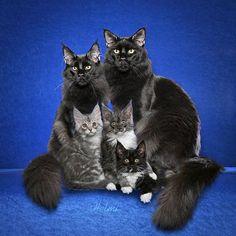 Maine Coon Family Portrait