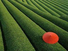 Beautiful Tea Field in Japan