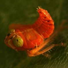 leafhopper nymph - Google Search