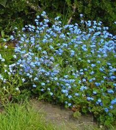10 Plants that will grow in the shade. forget me nots