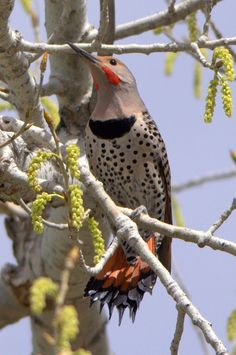 Love this bird Landscape Photography, Nature Photography, Northern Flicker, Woodpeckers, All Gods Creatures, Bird Feathers, Woody, Animal Kingdom, Travel Photos
