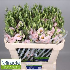 Eustoma Lisianthus Dbl. Arena Light Pink is a lovely light pink flower available at the market. Very popular for wedding and event flowers. Start planning your day with Triangle Nursery now! Wholesale Flowers for Everyone | visit the website at www.trianglenursery.co.uk or follow us on social, Facebook, Instagram, LinkedIn, Youtube and much more @trianglenursery