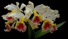 las mas bellas orquideas del mundo - Buscar con Google