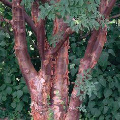 Acer griseum (Paperbark maple) - Fine Gardening Plant Guide - slow growing understory tree has highly ornamental, peeling orange-cinnamon bark.  Leaves turn a brilliant orange-red in fall.