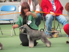 Bauer winning the RCC and RBIS at the Miniature Schnauzer Club GB Championship Show October 2012