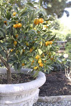 Winter citrus | Eat • Drink • Garden • Santa Barbara, California