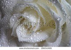 Wet white rose