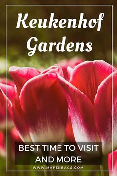 Pink-tulip-netherlands-Keukenhof-gardens-best-time-to-visit