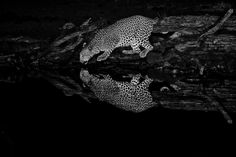 Black and White image of a Leopard drinking at Punda Maria Hide Lion Images, Night Photography, Wildlife Photography, Kruger National Park, National Parks, Milky Way Images, Buffalo Bulls, Male Lion