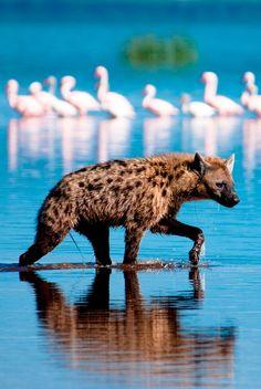 La hiena manchada o hiena moteada (Crocuta crocuta) Tiene una coloración arena…