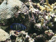 http://faaxaal.forumactif.com/t4513-photos-gratuites-de-poisson-ange-a-anneaux-pomacanthus-annularis-blue-ring-angelfish