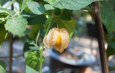 And then make a delicious compote from your harvest of ground cherries.