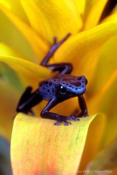 *Poison Dart Frog