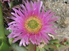 California coastal flowers