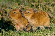 Baby Capibaras, Hydrochaeris hydrochaeris, Brazil.  More about these animals: http://eol.org/pages/326517  Photo by Cláudio Dias Timm via Flickr (cc-by-nc-sa):  http://www.flickr.com/photos/cdtimm/9209854149/