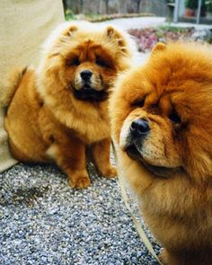 Chin Chin and Paw Paw  Two of Martha's wonderful chows strike an elegant pose.