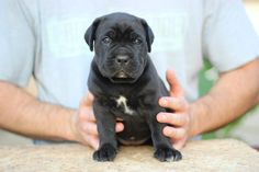 Maxima lux kennel, focused on preserving recognizable cane corso type.Transportation of Cane Corso puppies is available to the all destination of the world. Black Cane Corso, Cane Corso Dog, Cane Corso Puppies, Italian Mastiff Puppies, Mastiff Dogs, Puppy Kennel, Best Puppies, Godzilla, Denver