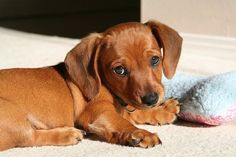 #puppy, #weiner dog, #cute
