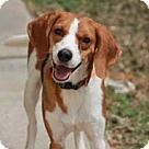 Chantilly, VA - Hound (Unknown Type). Meet Abbie, a for adoption. http://www.adoptapet.com/pet/16092970-chantilly-virginia-hound-unknown-type-mix