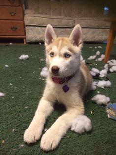 Olive Oyl at 10weeks. Siberian Husky puppy.