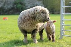 Image result for southdown sheep characteristics