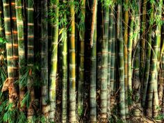 https://flic.kr/p/dqEkvk | bambu | Type of tropical plant from Brazil.  Bamboos are some of the fastest-growing plants in the world,[2] due to a unique rhizome-dependent system. Bamboos are of notable economic and cultural significance in South Asia, Southeast Asia and East Asia, being used for building materials, as a food source, and as a versatile raw product.