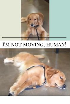 It's Time To Leave The Pet Store But This Dog Decides To Throw A Tantrum Funny Dog Images, Funny Dogs, Funny Pictures, Time To Leave, Pet Store, Animal Kingdom, Cute Puppies, Pets, Animals
