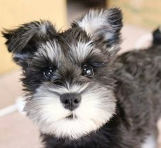 Ranked as one of the most popular dog breeds in the world, the Miniature Schnauzer is a cute little square faced furry coat. Schnauzer Grooming, Miniature Schnauzer Puppies, Schnauzer Puppy, Beagle Dog, Cute Puppies, Cute Dogs, Dogs And Puppies, Doggies, Dog Pictures