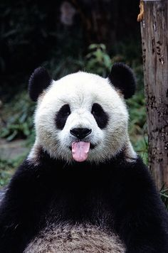 Panda bears: cute pictures and fascinating facts