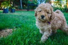 Labradoodle Puppies for Sale for sale in Chirnside Park VIC - Labradoodle Puppies for Sale Cute Puppies For Sale, Labradoodle Puppies For Sale, Miniature Australian Labradoodle, Park, Birthday, Dogs, Animals, Birthdays, Animales