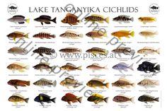 Lake Tanganyika Cichlids.jpg (3543×2362)