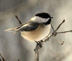 Black Capped Chikadee - Hear song: http://www.birdjam.com/birdsong.php?id=12