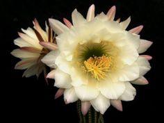 Echinopsis schickentdanzii